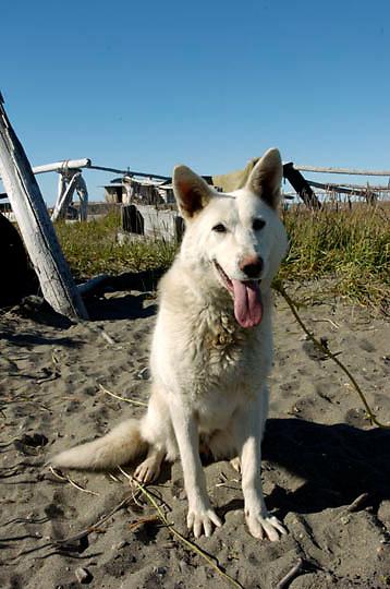 Town dog in Barrow, Alaska.