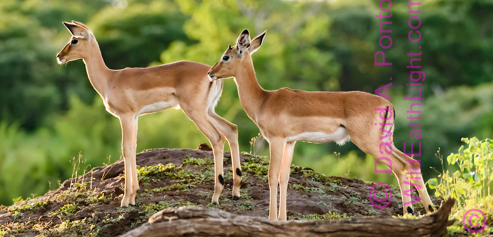Impala fawns pause alertly on an open hummock in forest along the Chobe River, Chobe National Park, Botswana, ©  David A. Ponton