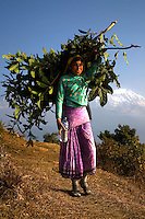 """So legendary are the load-carrying abilities of the Nepalese that the word Sherpa, a term for one of the country's ethnic groups, has become synonymous with """"porter.""""  A typical Nepalese porter can carry a load nearly as heavy as he or she is.  They are highly regarded as expert mountaineers as well as having good physical endurance and resilience to high altitude conditions."""