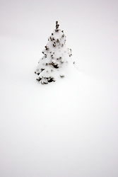 01 February 2008: Dwarf Alberta Spruce trees are barely visible in the snow at a subdivision in Bloomington Illinois