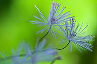 Thalictrum aquilegiifolium; French Meadow-rue, mountain area near Steg, Liechtenstein