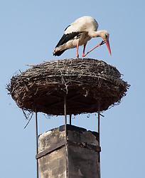 THEMENBILD - Die Freistadt Rust am Neusiedlersee wird auch Hauptstadt der Stoerche genannt. Der Weissstorch (Ciconia ciconia) zaehlt zu den groessten Landvoegeln Europas. Das Federkleid ist bis auf die schwarzen Schwungfedern rein weiss. Schnabel und Staender sind rot. Hier im Bild ein Weissstorch kratzt sich am Schnabel in seinem Nest am Kamin eines Ruster Wohnhauses. Aufgenommen am 19.05.2013 in Rust. // THEMES IMAGE - The town of Rust on Lake Neusiedl is also called the capital of the storks. The White Stork (Ciconia ciconia) counts the largest land birds in Europe. The plumage is pure white except for the black wing feathers, beak and uprights are red. This image shows a white stork sitting in his Lair on the chimney of a residential house of Rust. Pictured in Rust, austria on 2013/05/19. EXPA Pictures © 2013, PhotoCredit: EXPA/ Johann Groder