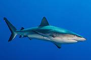 Gray reef shark ( Carcharhinus amblyrhynchos ), full body side view, , Fathers reefs, Kimbe Bay