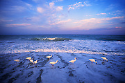 Image of white ibis (Eudocimus albus) wading at dawn off Sanibel Island, Florida, American Southeast by Randy Wells