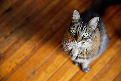 Cat Sitting on Wood Floor, High angle view