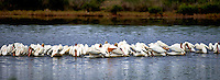 Flock of White Pelicans Feeding along Black Point Wildlife Drive in Merritt Island National Wildlife Refuge. Image taken with a Nikon D4 and 300 mm f/2.8 VR lens (ISO 100, 300 mm, f/2.8, 1/2500 sec).