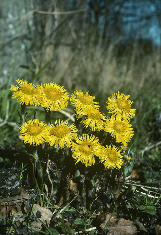 COLT'S-FOOT Tussilago farfara (Asteraceae) Height to 15cm<br /> Creeping perennial with runners and upright flowering stalks that are leafless, purplish and woolly, with overlapping, fleshy bracts. Grows in bare and disturbed ground, particularly on clay. FLOWERS are borne in heads, 15-35mm across, with orange-yellow disc florets and yellow ray florets; heads are solitary and terminal (Feb-Apr). FRUITS comprise a 'clock' of hairy seeds. LEAVES are rounded, heart-shaped and 10-20cm across, appearing after flowering. STATUS-Widespread and common.