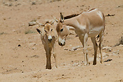 Juvenile Onager (Equus hemionus). Part of a breeding nucleus of Wild Asian Asses at a reacclimation centre Yotvata Hai-Bar Nature Reserve, Israel
