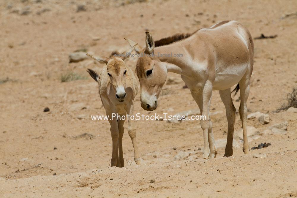 Juvenile Onager (Equus hemionus). Part of a breeding nucleus of Wild Asian Asses at a reacclimation centre Yotvata Hai-Bar Nature Reserve, Israel