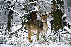© Licensed to London News Pictures. 21/01/2013.Sevenoaks Stag in the snow at Knole Park in Sevenoaks,Kent.  Today (21.01.2013). Photo credit : Grant Falvey/LNP