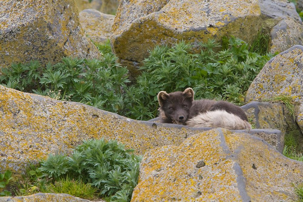 Arctic Fox, Alopex lagopus, Blue Phase, St. Paul, Pribilof Islands, Alaska.   #07_1515