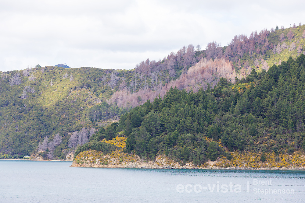 The picturesque Tory Channel belies a struggle between invasive Monterey pines (Pinus radiata) and the native vegetation that once cloaked the hillsides. Wilding pines growing from windblown seeds from nearby forestry blocks are highly invasive and causing much concern over the future of native habitats in the area, but thanks to the Marlborough Sounds Restoration Trust, control of these pines is being undertaken, and can be seen here in the form of recently poisoned skeletons. Tory Channel, Marlborough Sounds, New Zealand. September.