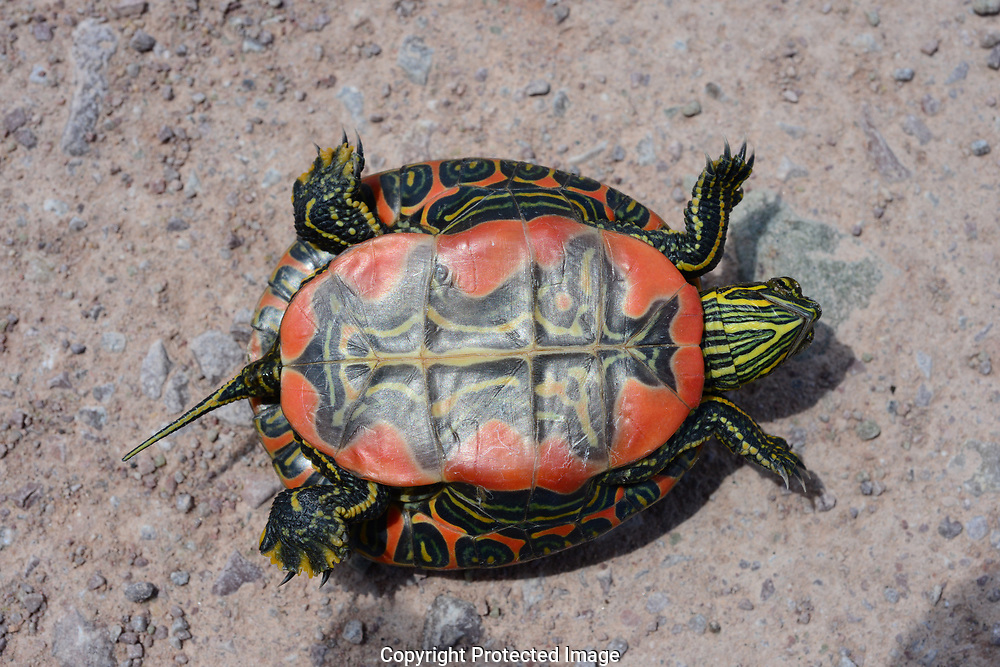 Red Belly Cooter plastrons (undershell) have different patterns unique to each individual.
