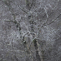 Frosty birch in Capel Curig