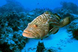 black grouper, Mycteroperca bonaci, Paso del Cedral, Cozumel, Mexico, Caribbean Sea, Atlantic Ocean