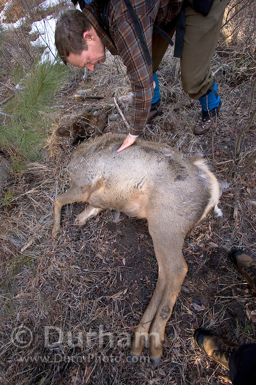 Oregon Fish and Wildlife (ODFW) biologist Scott Findholdt checks a still warm, yearling rocky mountain elk calf (Cervus elaphus elaphus) where it was killed by a cougar. The cougar jumped on the animals back and then broke its neck. Wenaha cougar study area, Eastern Oregon.