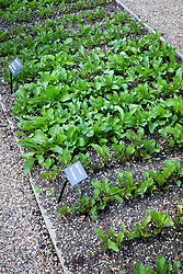 Lines of young beetroot in the vegetable garden