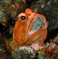 A rare jawfish mouthbrooding his eggs. Opistognathidae, the jawfishes, includes about 80 species. Raja Ampat, West Papua, New Gunea, Indonesia