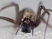 House Spider (Tegenaria domestica) close up of face and maindibles, on patio in garden, Kent UK, stacked focus image