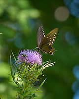 Spicebush Butterfly on a Thistle Flower. Image taken with a Nikon D2xs camera and 80-400 mm VR lens.