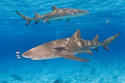 A pair of Lemon Sharks, Negaprion brevirostris, patrol the shallow, warm waters of the Little Bahama Bank. Bahamas, Atlantic Ocean