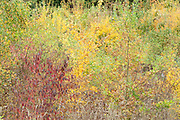 Mixed Autum Coloured Trees, Ranscombe Farm Nature Reserve, Kent UK, Field Maple, Beech & Dogwood, yellow, green, red