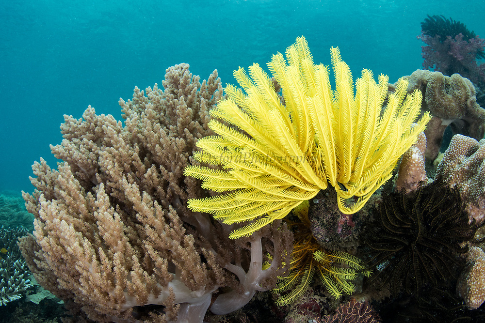 Bennett's Feather Star (Oxycomanthus bennetti)<br /> Raja Ampat<br /> West Papua<br /> Indonesia