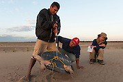 Giant River Turtle (Podocnemis expansa) Franklin Tovar weighing & Eneida Marin (Project Coordinator) taking Biometric Data. CAPTIVE-REARING PROGRAM FOR REINTRODUCTION TO THE WILD<br /> CITES II      IUCN ENDANGERED (EN)<br /> Playita Beach, (mid) Orinoco River, 110 Km N of Puerto Ayacucho. Apure Province, VENEZUELA. South America. <br /> L average 90cm, Wgt 30-45kg. Largest fresh water river turtle in S. America.<br /> RANGE: Amazonia, Llanos & Orinoco of Colombia, Venezuela, Brazil, Guianas, Ecuador, Peru & Bolivia.<br /> Project from Base Camp of the Protected area of the Giant River Turtle (& Podocnemis unifilis). (Refugio de Fauna Silvestre, Zona Protectora de Tortuga Arrau, RFSZPTA)<br /> Jose Belmejo looking on