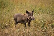 Warthog (Phacochoerus africanus) Photographed in Serengeti, Tanzania