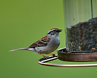 Chipping Sparrow at the Bird Feeder. Image taken with a Nikon D5 camera and 600 mm f/4 VR lens.