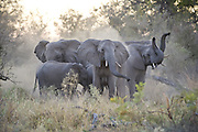 African Elephant<br /> Loxodonta africana<br /> Upset herd gathered together after smelling blood from wild dog kill<br /> Okavango, Botswana
