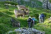 Dairy cows at sunrise. Berggasthaus Meglisalp can only be reached on foot in the spectacular heart of the Alpstein mountain chain in the Appenzell Alps, Switzerland, Europe. This authentic mountain hostelry, owned by the same family for five generations, dates from 1897. Meglisalp is a working dairy farm, restaurant and guest house surrounded by majestic peaks above green pastures.