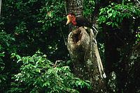 Helmeted Hornbill (Rhinoplax vigil) outside the nest hole.  .Budo Sungai-Padi Mountains National Park, Thailand.