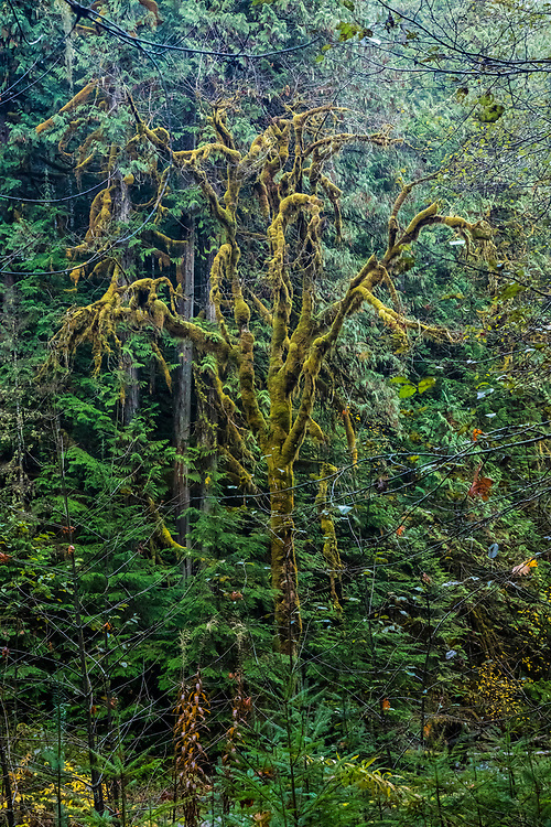 A Big Leaf Maple Tree covered in moss, Staircase Rapids area of Olympic National Park, Washington, USA.