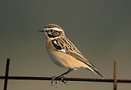 Whinchat Saxicola rubetra L 12-14cm. Colourful, Stonechat-like bird with whitish sides to tail base. Sexes are dissimilar. Adult male has brown, streaked upperparts with white stripe above eye. Margins of throat and ear coverts are defined by pale stripe; throat and breast are orange; underparts are otherwise whitish. Adult female is similar but colours and contrast are less intense. 1st winter bird is similar to adult female but upperparts are more spotted. Voice Utters a whistling tic-tic alarm call. Song is rapid and warbling. Status Local summer visitor, favouring rough grassy slopes with scattered scrub.