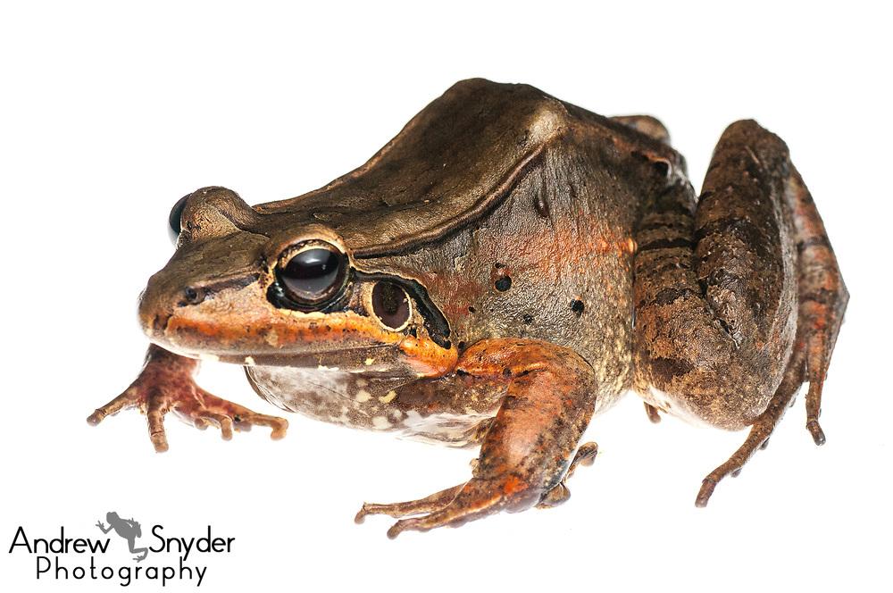 Leptodactylus guianensis, Kanuku Mountains, Guyana, July 2013