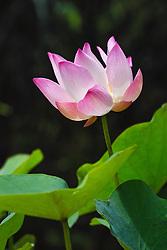 Lotus, nelumbo, pink #3