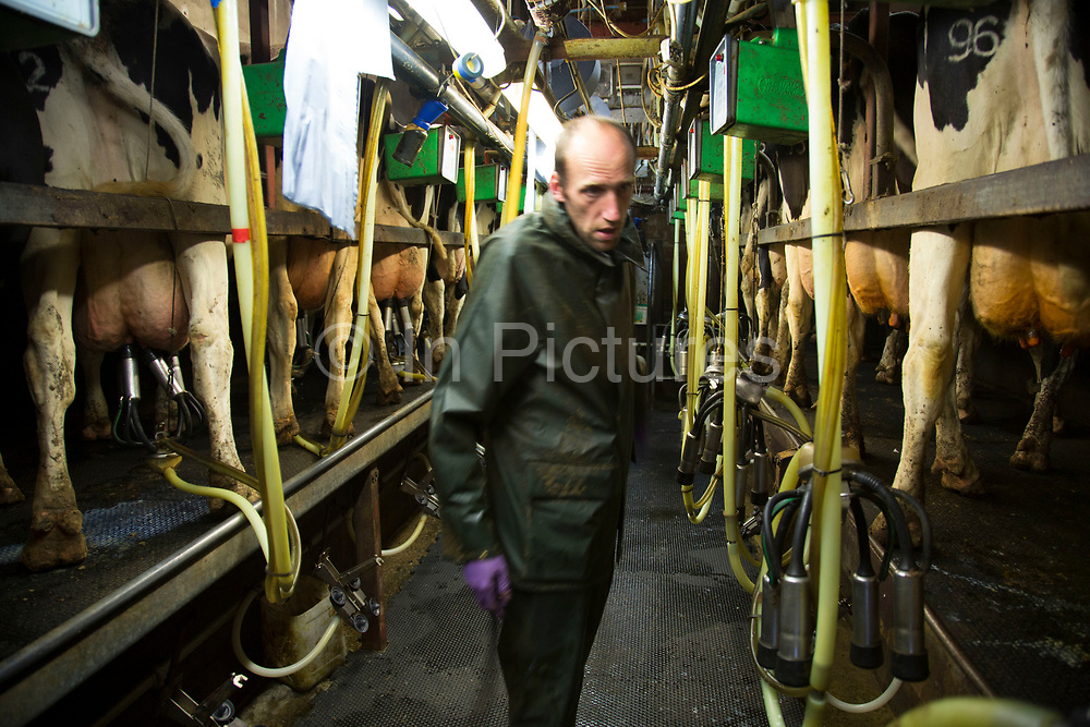 Graham Hill at milking time in the milk parlour. With a new parlour planned this is a traditional one which has served many years.. The cows are brought in to individual stalls, their teats are disinfected, and wiped before the milking apparatus is attached. After each cow the apparatus is cleaned and rinsed; as are the stalls. All of this ensures the ultimate cleanliness in the end product, which is tested daily to ensure top quality. Wildon Grange Dairy Farm, Coxwold, North Yorkshire, UK. Owned and run by the Banks family, dairy farming here is a scientific business, where nothing is left to chance. From the breeding, nutrition and health of their closed stock of Holstein Friesian cows, through to the end product, the team here work tirelessly, around to clock to ensure content and healthy animals, and excellent quality milk. (photo by Mike Kemp/In Pictures via Getty Images)