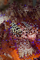 Coleman shrimps (Periclimenes colemani) in their fire urchin (Asthenosoma varium) home.<br /> <br /> Coleman shrimps are only found on fire urchins and live in an obligate symbiosis with their host. They feed on the soft tube feet and tentacles of the sea urchin, which does not seem to be severely harmed. The venomous spines of the urchin provide an excellent defense from any would be predators too.