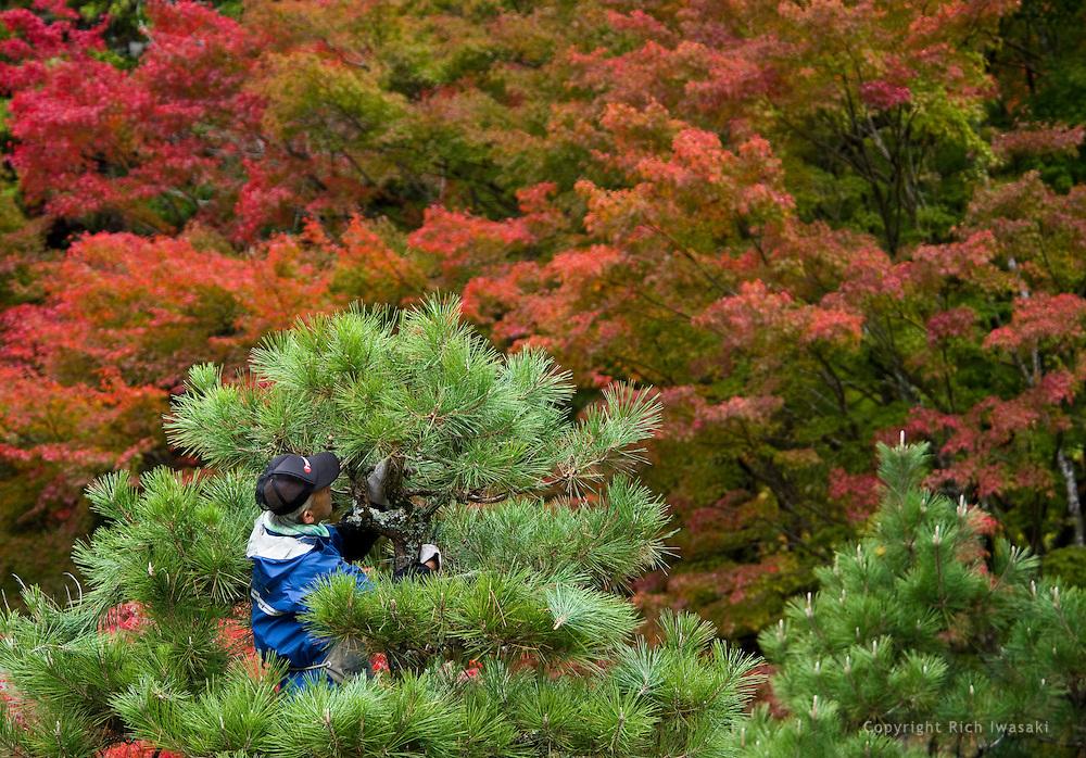 A worker prunes a pine tree in autumn, Korankei Gorge, Asuke district in Toyota city, Aichi Prefecture, Japan