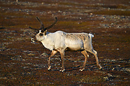 Reindeer - Rangifer tarandus - male in velvet