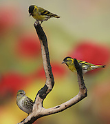 2 Males (right and top) and a female Eurasian siskin (Carduelis spinus). The siskin is a type of finch. It breeds in northern Europe, parts of Russia and eastern Asia, and migrates south in the winter. It favours coniferous woodland. The siskin is approximately 12 centimetres in length. Photographed in Israel in March.