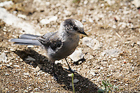 We stopped for lunch while hiking at Sunshine Meadows and it wasn't long before this little thief showed up and wanted to join us.  Whisky Jack's (gray jays) are renowned for their ability to find a free lunch!