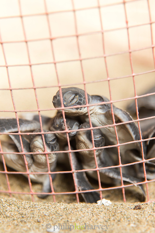 Baby green sea turtle in enclosure, Turtle breeding centre, Sukamade Beach, Meru Betiri National Park, East Java, Indonesia, Southeast Asia