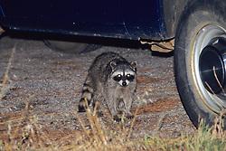 Raccoon At Night