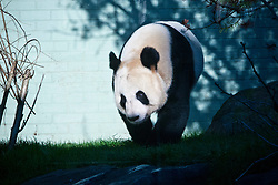 Tian Tian the Giant Panda at the Edinburgh Zoo Panda Enclosure at the first photo-call of the new year..Pic © Michael Schofield...