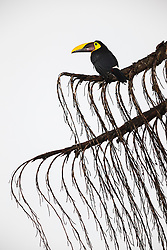 Chestnut mandibled toucan (Ramphastos ambiguus swainsonii,), Las Cruces Biological Station/Wilson Botanical Garden, Puntarenas, Costa Rica