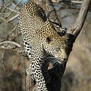 Leopard, Malamala Game Reserve, South Africa