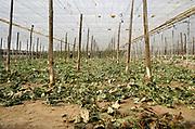 Spanje, El Ejido, 5-11-2019In dit deel van Andalucie wordt veel groente en fruit verbouwd wat zijn weg vindt via de export naar o.a. Nederland . Het wordt de zee van plastic genoemd omdat de kassen opgebouwd zijn van houten of metalen palen bedekt met zwaar plastic.  Werknemers halen planten weg waarvan de oogst is geplukt. Er kunnen soms vier oogsten per jaar gehaald worden. Het plastic kan ingeleverd worden bij een afvalbedrijf wat het recycled.Komende week zijn er algemene verkiezingen in Spanje en de populistische partij Vox heeft hier een grote aanhang. In de kassen werken voornamelijk migranten uit Afrika, en arbeidmigranten uit Oost-Europa die een laag loon uitbetaald krijgen, tussen de 30 en 40 euro per 8 urige dag, werkdag, afhankelijk van de werkgever. Er wordt door de kaseigenaren en transportbedrijven goed verdiend maar de boeren vinden dat ze teveel negatieve aandacht krijgen in de media in noord-europa. Foto: Flip Franssen