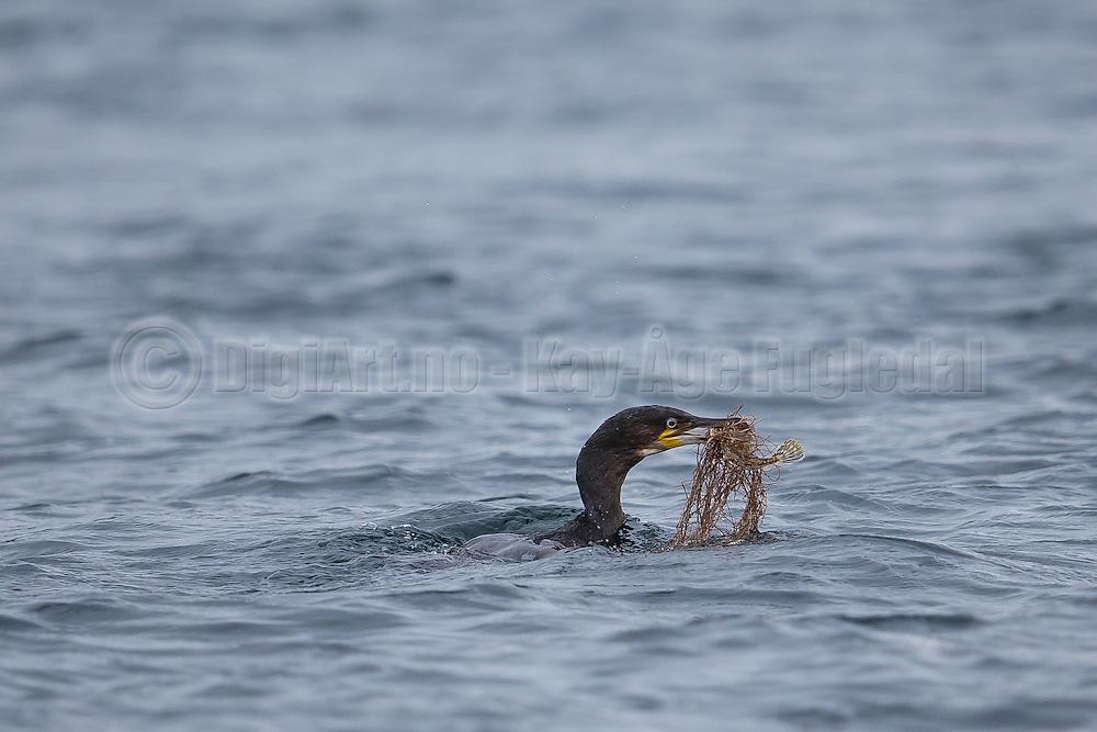 A Cormorate dived, and came up with a fish, and a little bit more   En Skarv dykket og kom opp med en fisk med noget attpå :-)